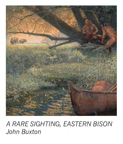 """""""A Rare Sighting, Eastern Bison"""" by John Buxton"""
